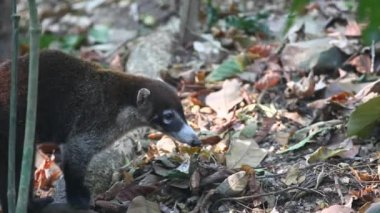 A White-nosed Coati (Nasua narica) moves through the frame — Stok video
