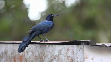 A Great-tailed Grackle (Quiscalus mexicanus) preens on a tin roof in Costa Rica. — Stock Video