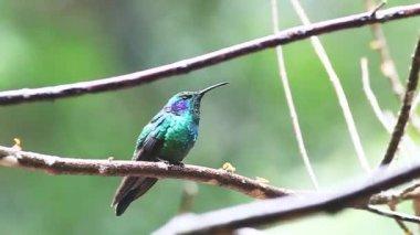 Un verde colibri, colibri thalassinus, encaramado en las tierras altas de costa rica — Vídeo de stock