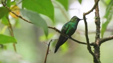 A Green-crowned Brilliant hummingbird from Monteverde in Costa Rica — Stock Video