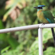 Stock Video: Turquoise-Browed Motmot, Eumomotsuperciliosa, perched in CostRica