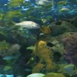 A close view of large schools of fish swimming in a coral reef — Stock Video