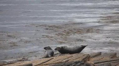 Grey Seals resting on a rocky shore. — Stock Video