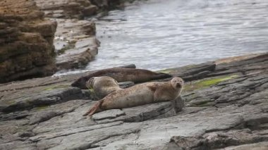 Grey Seals loafing on a rocky shore. — Stock Video