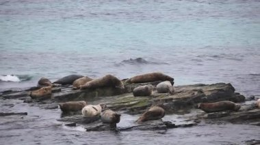 A view of Grey Seals loafing on a rocky shore. — Stock Video