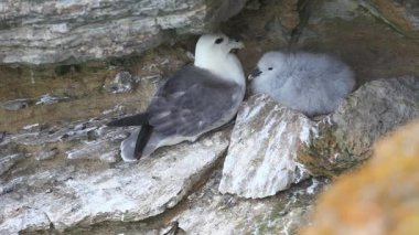 Nesting Northern Fulmar, Fulmarus glacialis — Stock Video