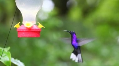 Violet Sabrewing (Campylopterus hemileucurus) at a sugar feeder in Costa Rica — Stok video