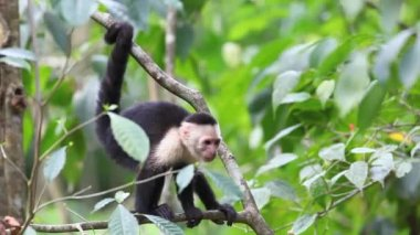 Wild White-faced Capuchin excited by something below — Stock Video