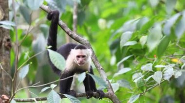 Wild White-faced Capuchin peers at something below — Stock Video