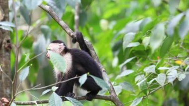 Wild White-faced Capuchin becoming agitated — Stock Video
