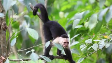 An alert Wild White-faced Capuchin becoming agitated — Stock Video