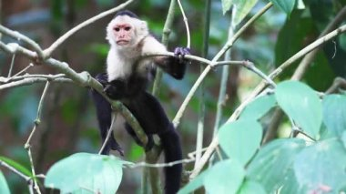Wild White-faced Capuchin (Cebus capucinus) monkey peers about. — Stock Video