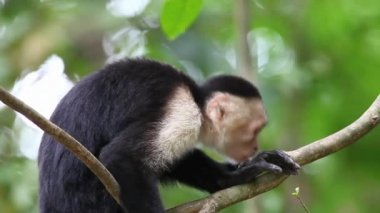 Wild White-faced Capuchin (Cebus capucinus) monkey resting — Stock Video