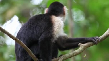 A grooming Wild White-faced Capuchin (Cebus capucinus) monkey — Stock Video
