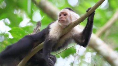 Wild White-faced Capuchin (Cebus capucinus) monkey preening — Stock Video