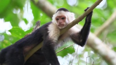 Wild White-faced Capuchin (Cebus capucinus) monkey relaxing — Stock Video