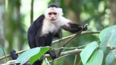 A close view of a Wild White-faced Capuchin (Cebus capucinus) — Stock Video