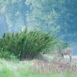 Stockfoto: Doe in nature