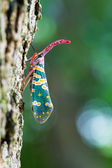 Pyrops candelaria on tree — Stock Photo