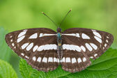 Common Sailer (Neptis hylas) — Stock Photo