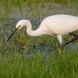 Little Egret standing in water looking for food — Stock Photo #41600459