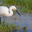 Little Egret standing in water looking for food — Stock Photo #42032627