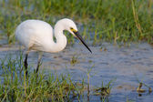 Little Egret standing in water looking for food — Stock Photo