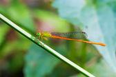 Retrato de libélula - naranja-cola sprite — Foto de Stock