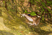 Large Odorous Frog — Stock Photo