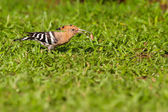 Eurasian hoopoe eating bug — Stock Photo