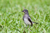 Baby bird - Oriental Magpie-Robin — Stock Photo