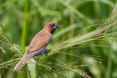 Scaly-breasted Munia eating grass seed — Stock fotografie