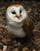 Noisy barn owl — Stock Photo