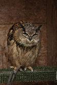 Europian oehoe — Foto Stock