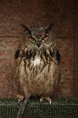 Beautifull europian oehoe — Foto Stock