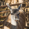 Stock Photo: Guanaco (Lama)