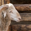 Stock Photo: Ram head