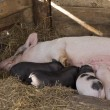 Stock Photo: Sow and Piglets