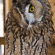 Tawny owl — Stock Photo #40438567