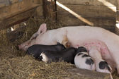 Sow and Piglets — Stock Photo