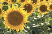 Blossoming field of sunflowers close-up — Stock Photo