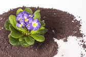 Blue flower with green leaf root on soil isolated background — Stock fotografie