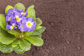 Blue flower with green leaf root on soil isolated background — Photo
