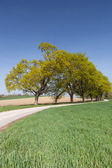 Country road with green avenue — Stock Photo