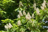 Flowering chestnut tree — Stock Photo
