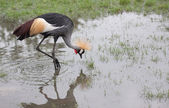 Grey Crowned Crane — Stock fotografie