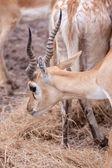 Impala antelope — Stock Photo
