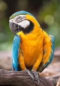 Yellow parrot — Stockfoto