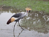 Grey Crowned Crane — 图库照片