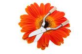 Orange gerbera with shears — Foto de Stock